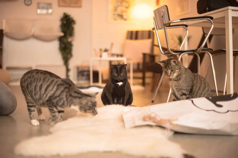 Schapenvacht en kat , Sheepy (3)